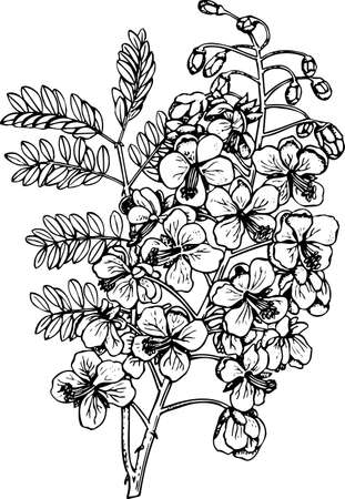 barbados: Caesalpinia (Mexican Bird of paradise flower) Illustration