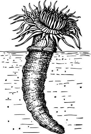 sea anemone: Ceriantharia (Sea anemone)