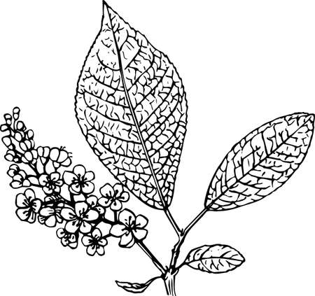raceme: Padus (bird cherry) Illustration