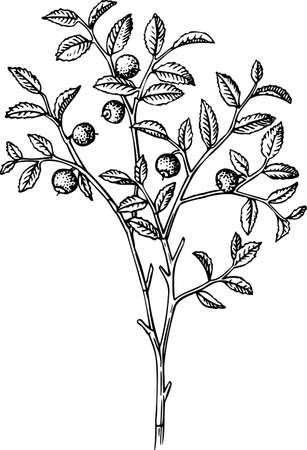 Vaccinium myrtillus (Wild bilberry) Stock Vector - 10402192