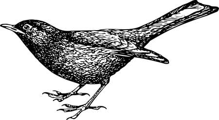 blackbird: Eurazji Blackbird (Turdus merula) Ilustracja