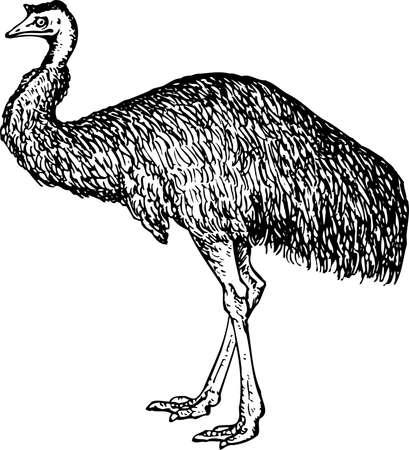 avestruz: Emu (Dromiceiidae)