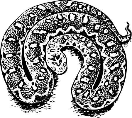 adder: Echis (venomous viper) Illustration
