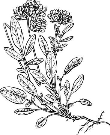Anthyllus Stock Vector - 10402225