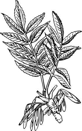 ash tree: Fraxinus (frassino)