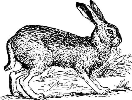 wild rabbit: Jackrabbit