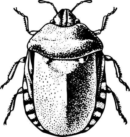 bedbug: Bedbug (Eurygaster integriceps)