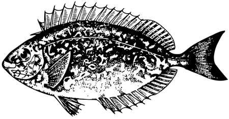 plunging: Tropical fish (Siganus) Illustration