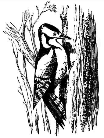 ornithology: Woodpecker (Dryobates major) Illustration