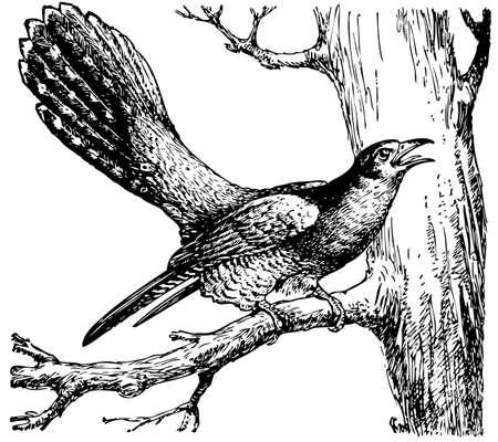 cuckoo: Cuckoo (Cuculus canorus)