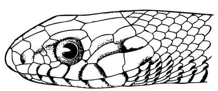 snakeskin: Snake head