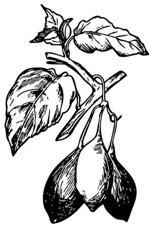 tamarillo: Tamarillo (Cyphomandra betacea) Illustration