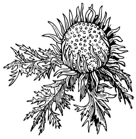thistle: Stemless carline (Carlina acaulis) Illustration