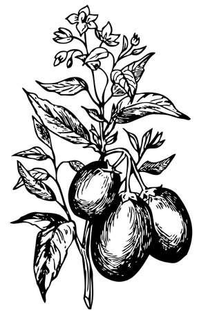 pepino: Pepino (Solanum muricatum)