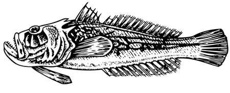 gazer: Grumpy Stargazer (Uranoscopidae)