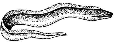 moray: Eel on white