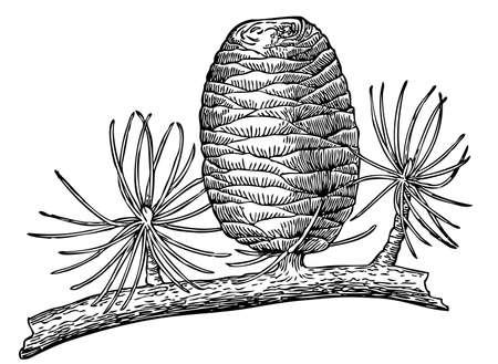 cedar: Pinecone Illustration