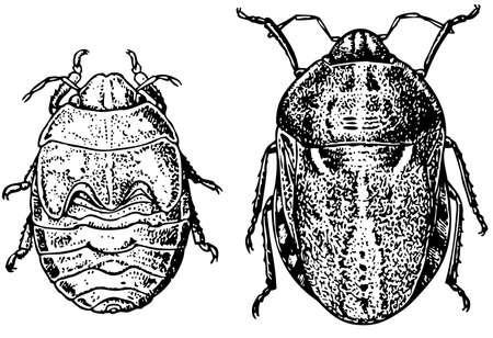 bedbug: Bugs Illustration