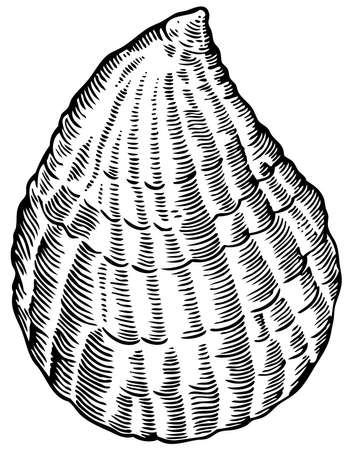 scallops: Seashell Illustration