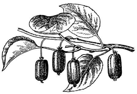 kiwi fruta: Planta Actinidia
