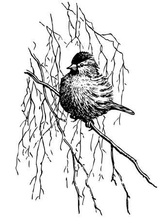 ornithology: Bird on the branch on white  Illustration