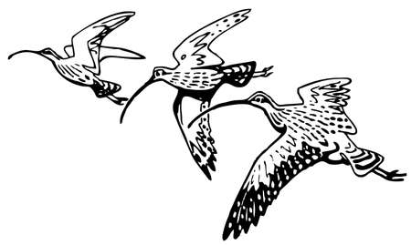 ornithology: Curlew Sandpiper