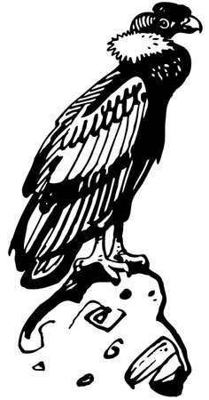 beak vulture: Condor Illustration