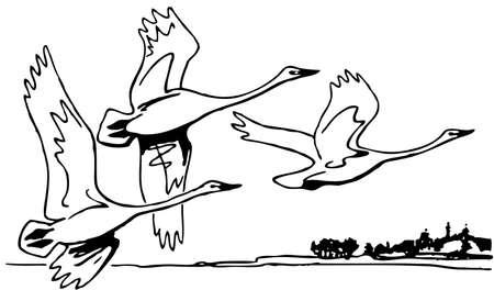 ornithology: Swans