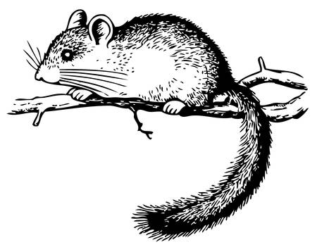 dormouse: Edible Dormouse