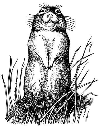 black squirrel: Little ground squirrel