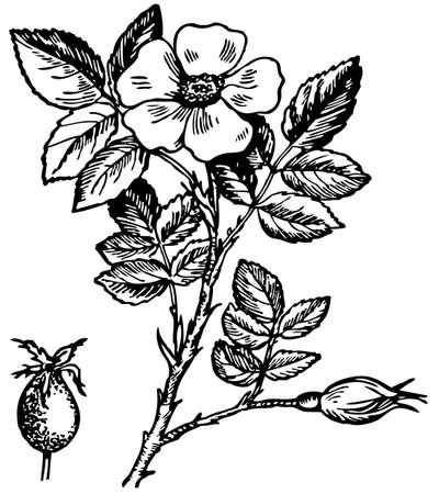 dog rose: Dogrose