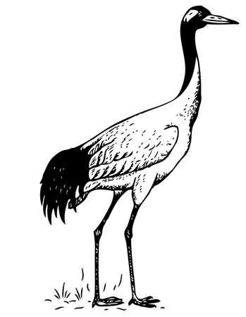 ornithology: Bird Illustration