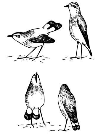 grebe: Birds