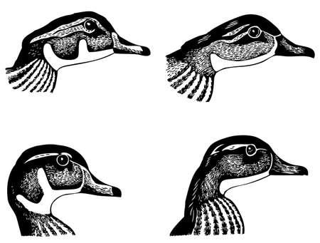 ornithology: Duck heads