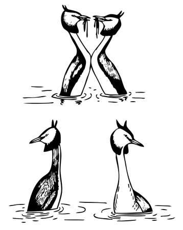 grebe: Great Crested Grebe Illustration
