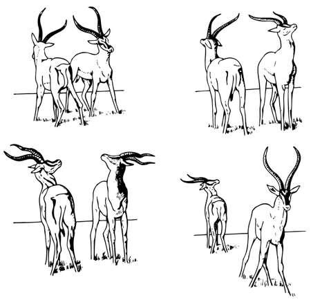 of antelope: Gazelle battle