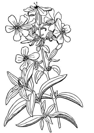 officinalis: Plant Saponaria officinalis Illustration