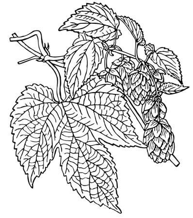 humulus lupulus: Plant Humulus lupulus Illustration