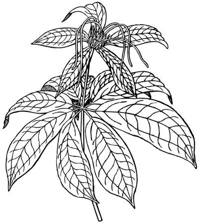 polyphylla: Plant Paris polyphylla