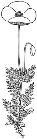 dubium: Plant Papaver dubium