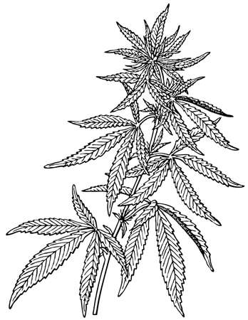 cannabis sativa: Plant Cannabis sativa