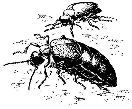 entomology: Beetle Meloe proscarabaeus