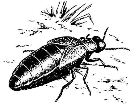 arthropoda: Oil beetle
