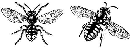 abejas panal: Anthidium manicatum