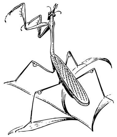 mantis: Empusa Mantis Illustration