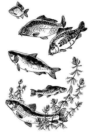 pez carpa: Peces Vectores