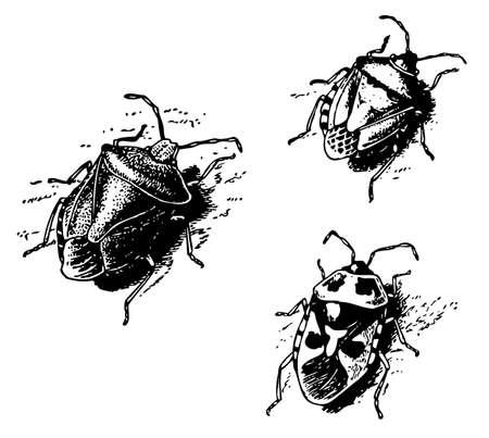 Shield bug Vector