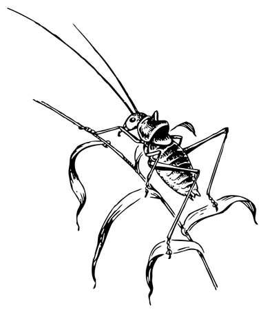 thigh: Ephippiger Illustration