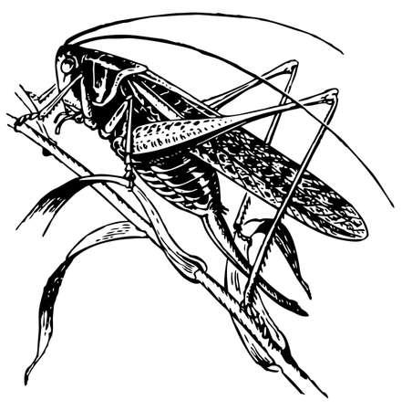 cicada: Tettigoniidae Illustration