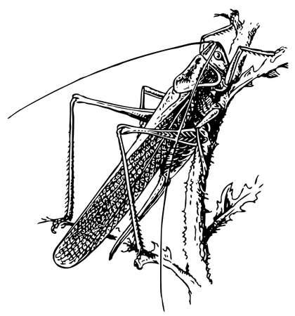 anthropoid: Grasshopper